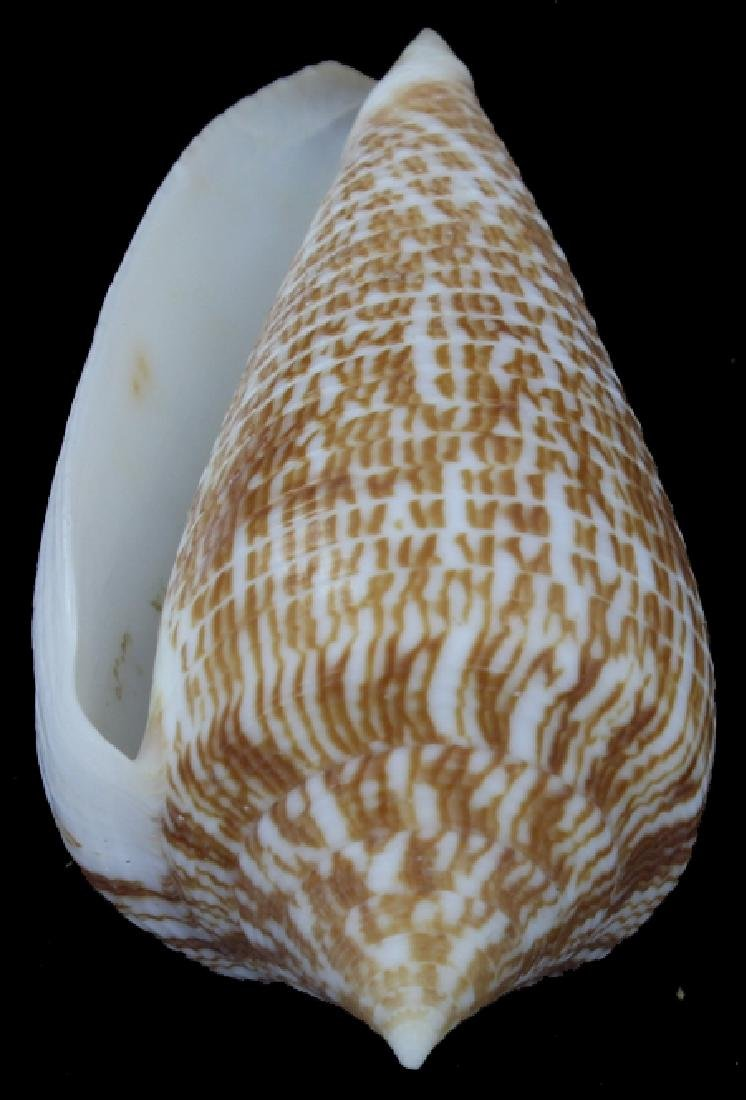 Scarce Collectible Conus Armandillo Shell