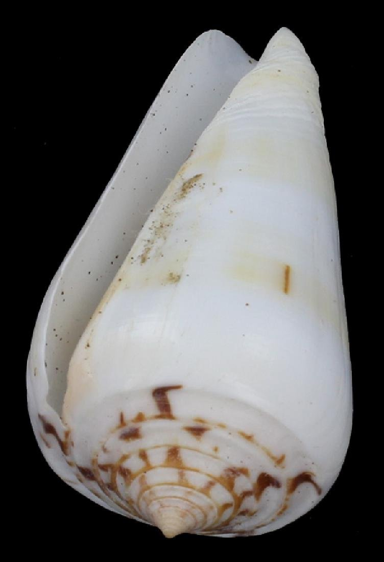 Scarce Collectible Conus Leehmani Shell