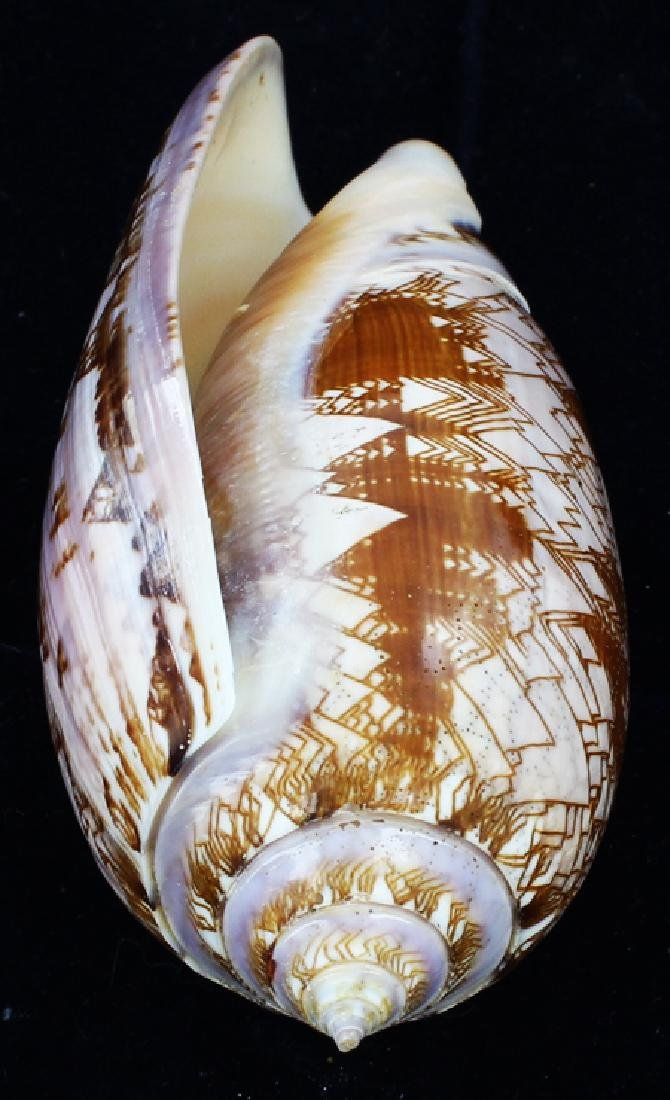 Scarce Collectible Oliva Porphyria Shell
