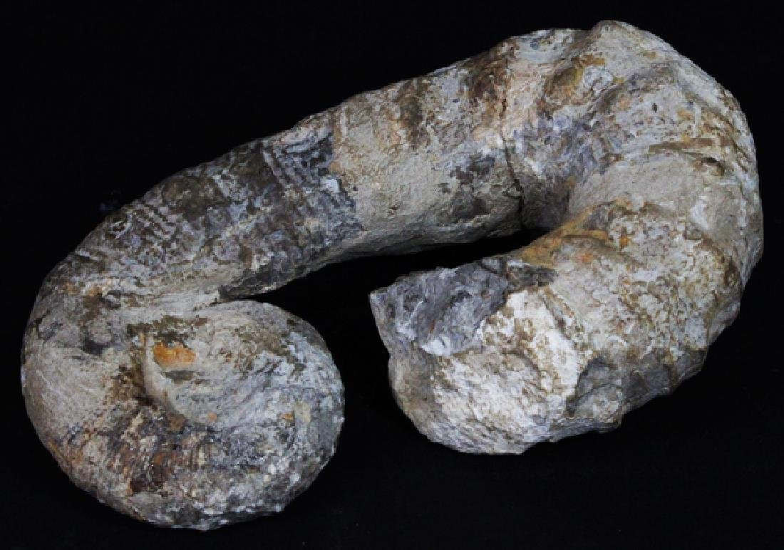 1600g Rare Heteromorph Ammonite Fossil