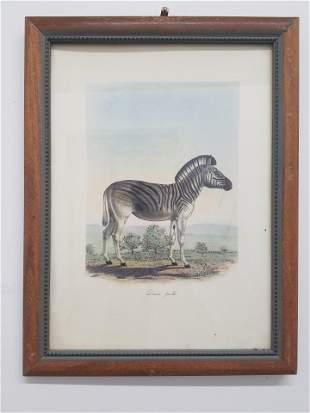 "FREDERIC CUVIER ""Dauw Femelle"" Animals of Africa"