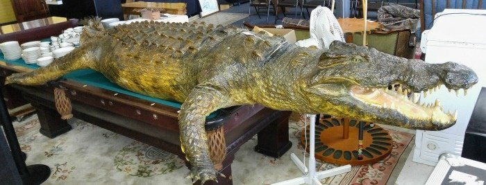 Large Alligator Wildlife Taxidermy Mount