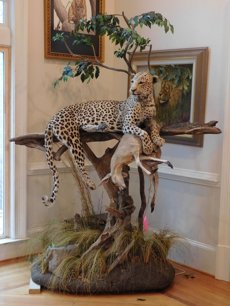 Spotted Leopard Taxidermy Mount