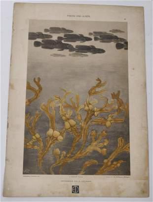 G. Heilmann, Fische und Algen lithograph
