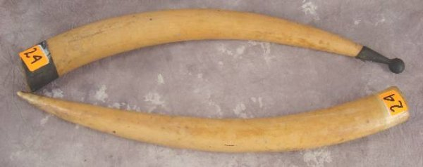 1024: PAIR OF ANTIQUE  IVORY TUSKS