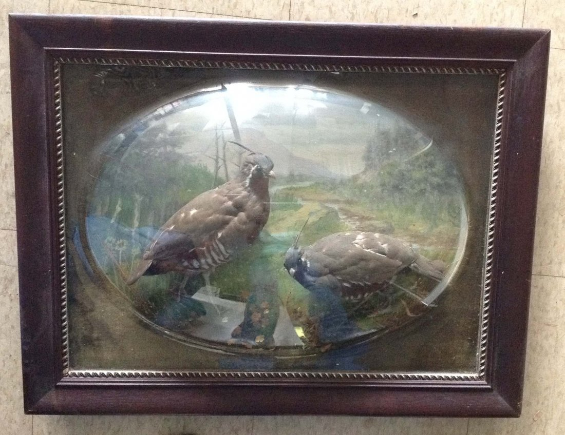 2 Taxidermy Quails in Bubble Glass Frame