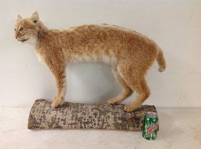 """Bobcat Mount, Nice Overall Condition, Measures 30"""""""