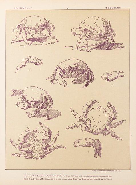 [ANIMAUX] Paul FLANDERKY - Seetiere. Naturstudien für - 2