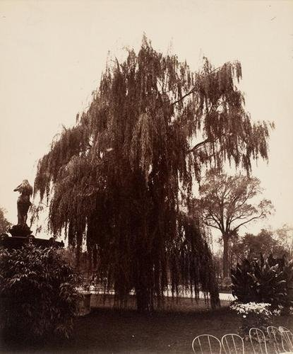 15B: EUGENE ATGET (1857-1927); Saule (Willow), ca. 1900