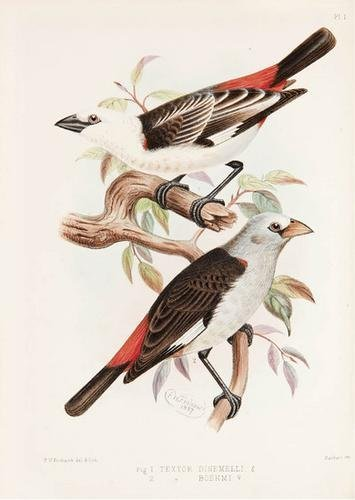 7C: BARTLETT, Edward. A monograph of the Weaver-birds