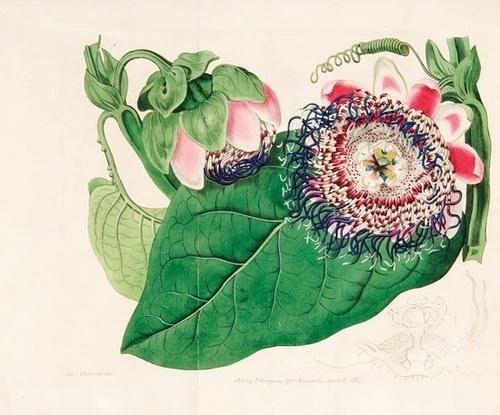 87C: EDWARDS, Sydenham (1768-1819). The Botanical Regis