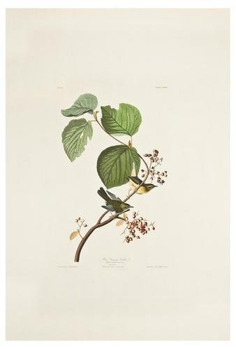 1: AUDUBON, John James (1785-1851). Pine Swamp Warble