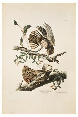 2: AUDUBON, John James (1785-1851). Chuck-will's-wido