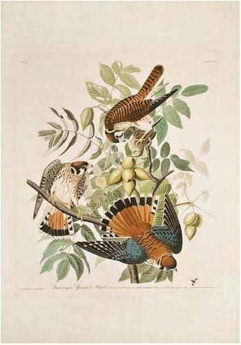 3: AUDUBON, John James (1785-1851). American Sparrow