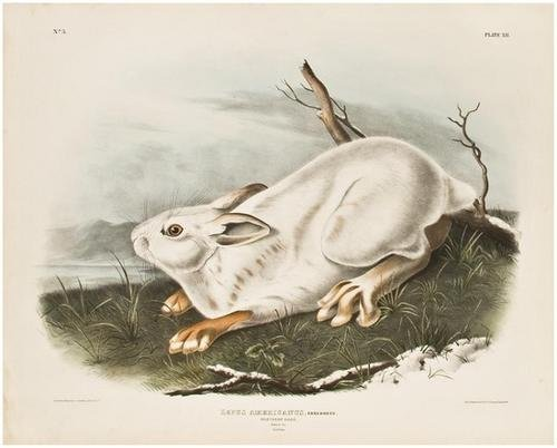 4: AUDUBON, John James (1785-1851). Northern Hare...