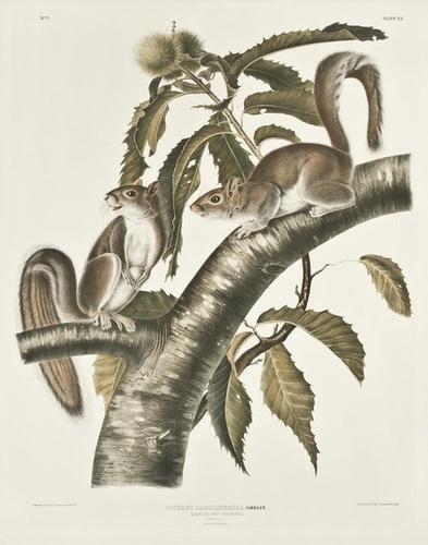 5: AUDUBON, John James (1785-1851). Carolina Grey Squ