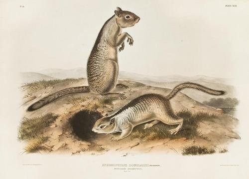 6: AUDUBON, John James (1785-1851). Spermophilus Doug