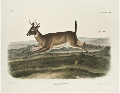 7: AUDUBON, John James (1785-1851). Long Tailed Deer.