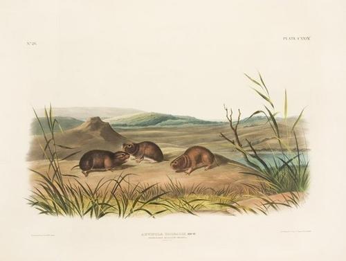 8: AUDUBON, John James (1785-1851). Arvicola Borealis