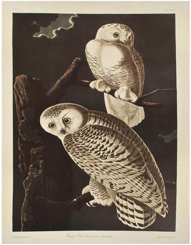"11: AUDUBON, John James (1785-1851). Snowy Owl. From """