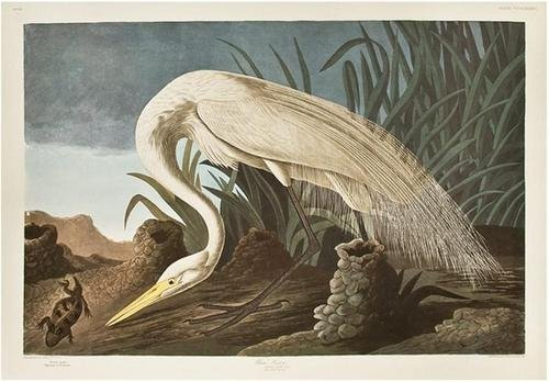 12: AUDUBON, John James (1785-1851). White Heron. From
