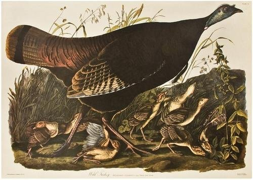 14: AUDUBON, John James (1785-1851).  Wild Turkey, Fem