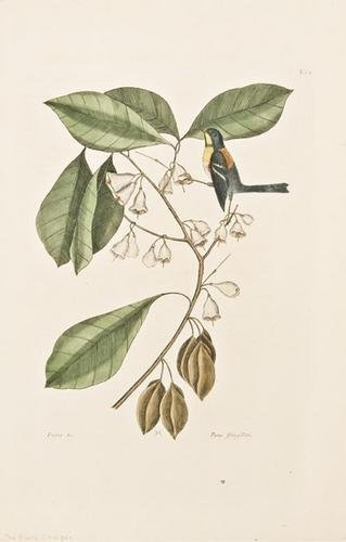 16: CATESBY, Mark (1683-1749).  Finch Creeper (Parula