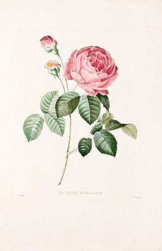 19: REDOUTE, Pierre Joseph (1759-1840). Le Bouquet Roy