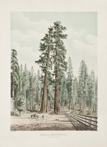 20: A pair of views of the noble California Sequoia ta