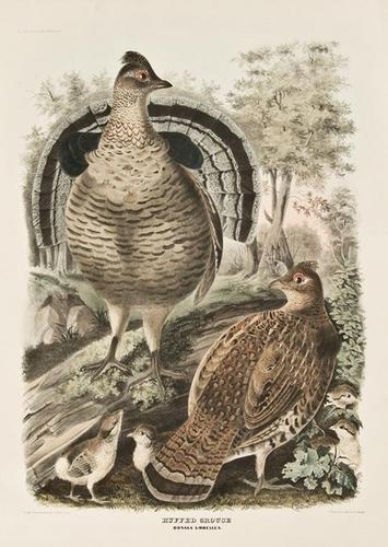 21: ELLIOT, Daniel Giraud (1835-1915) .  Ruffed Grouse