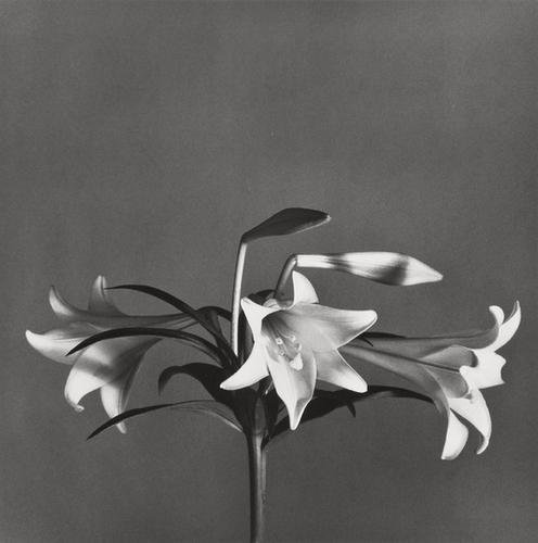 13: Robert Mapplethorpe (1946-1989) Easter Lilies, 197