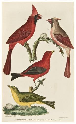 4: BIRDS -- WILSON, Alexander and Charles Lucian BONA
