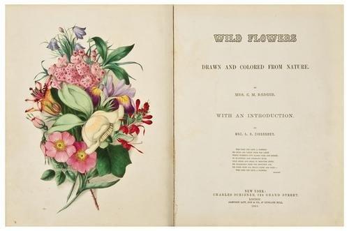 5: BADGER, Clarissa W. Munger. Wild Flowers, Drawn an