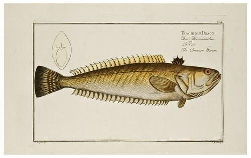 8: BLOCH, Marcus Elieser (1723-1799) Ichthyologie, ou