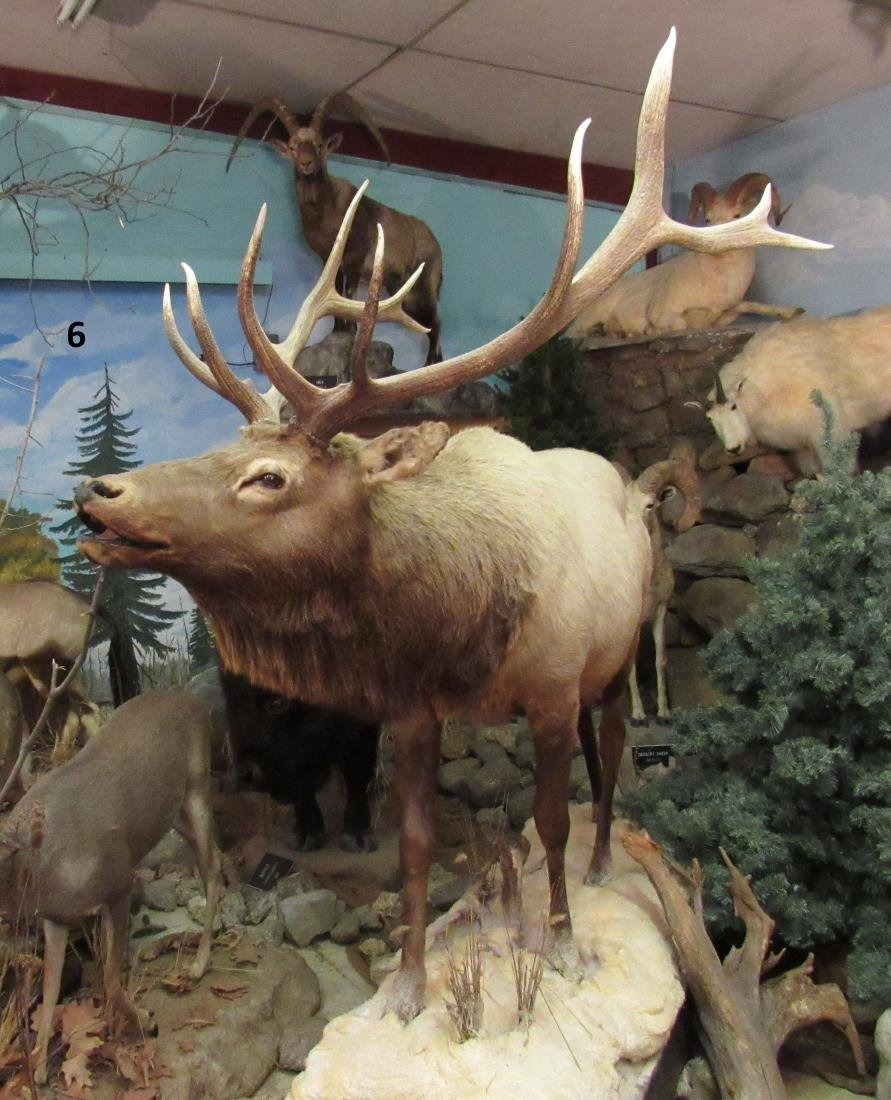 ELK, FULL MOUNT