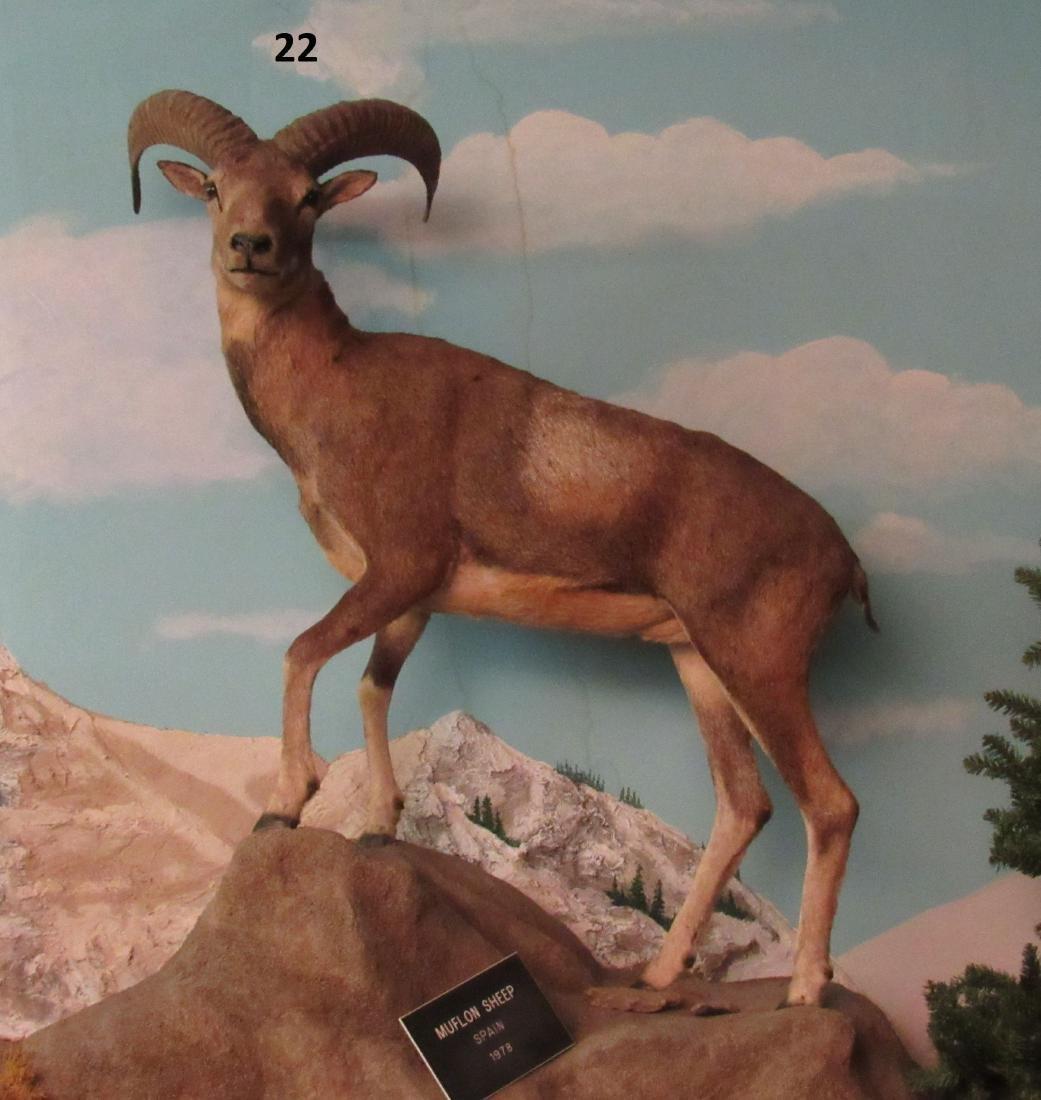 MUFLON SHEEP, FULL MOUNT