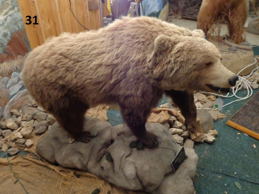 GRIZZLY BEAR, FULL MOUNT