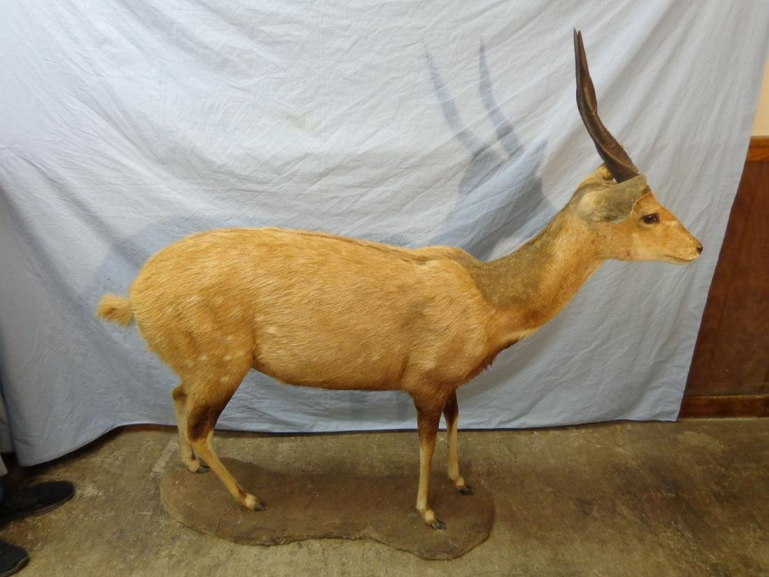 BUSHBUCK, FULL MOUNT