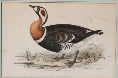 """107: antique hand colored litho of a """"Red-Breasted Goos"""