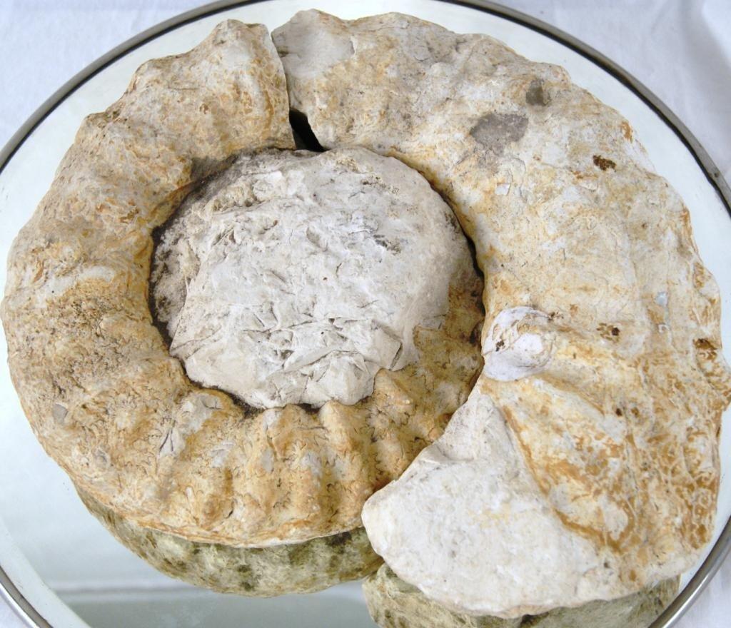 """22: Pre-Historic Ammonite 12"""" fossil"""