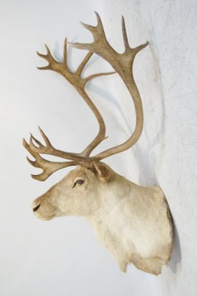 Mounted Caribou With Giant Antlers