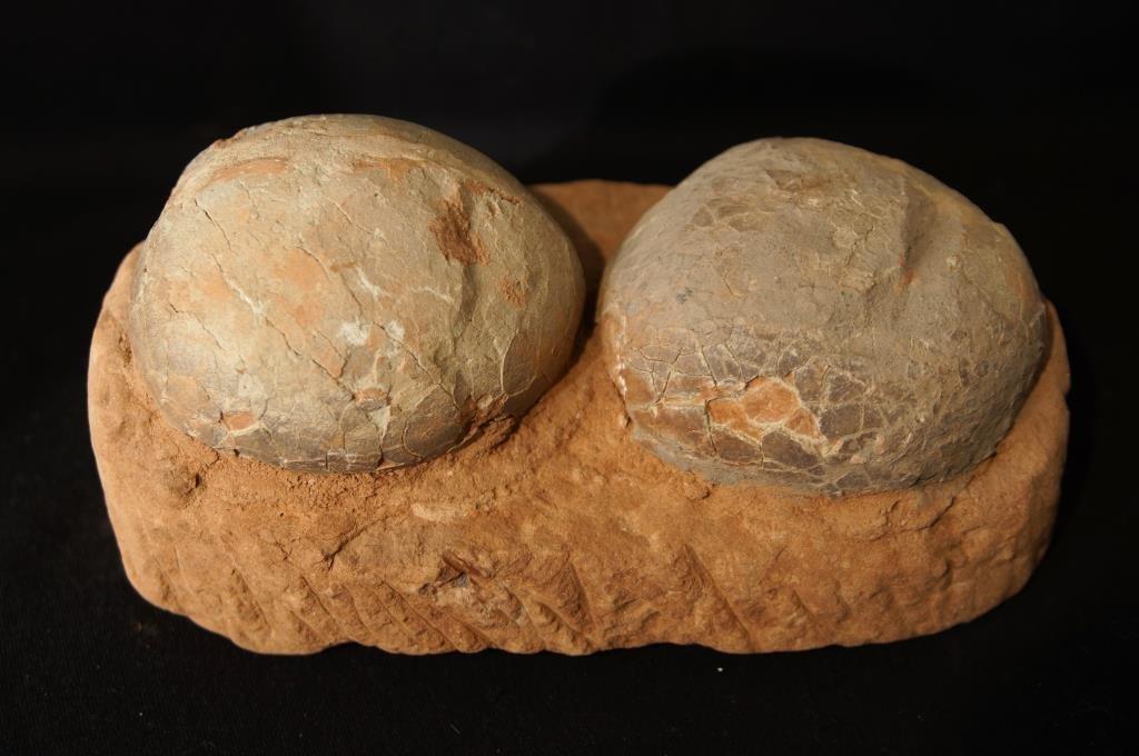 Hadrosaur (Duck Bill) dinosaur eggs