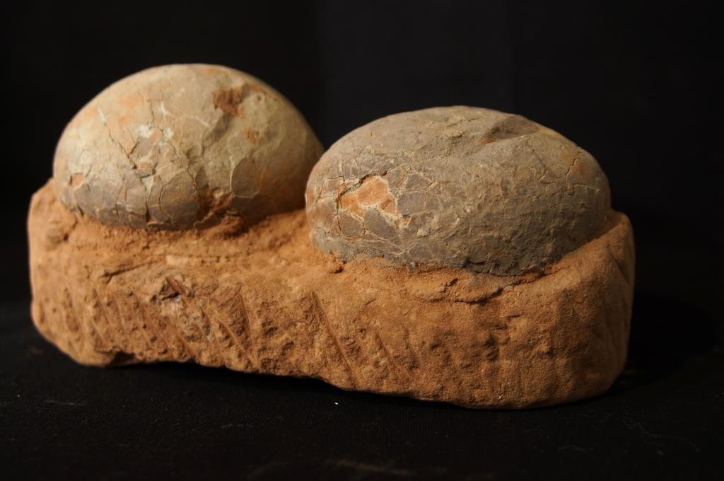 Hadrosaur (Duck Bill) dinosaur eggs - 3