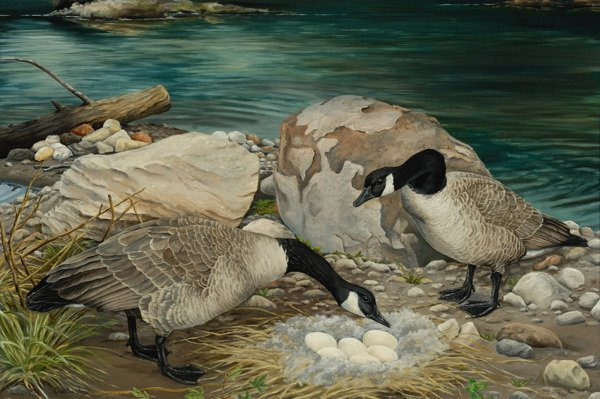 16: Canadian Snow Geese