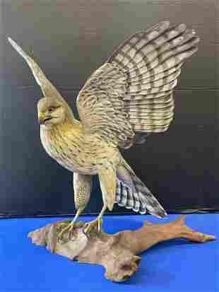 Wayne Edmundson. Carving, Immature Cooper Hawk
