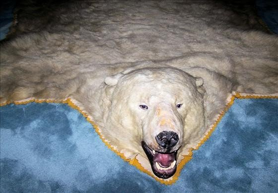 101: Polar Bear rug, approximately 100 years old