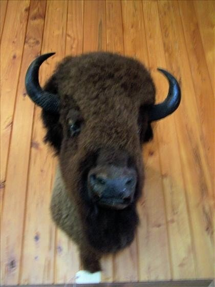 117: Bison mounted head,