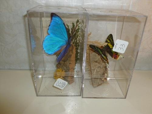 Pair of cased real butterflies