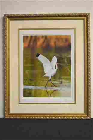 Photographic Print White Ibis by Dennis Goodman