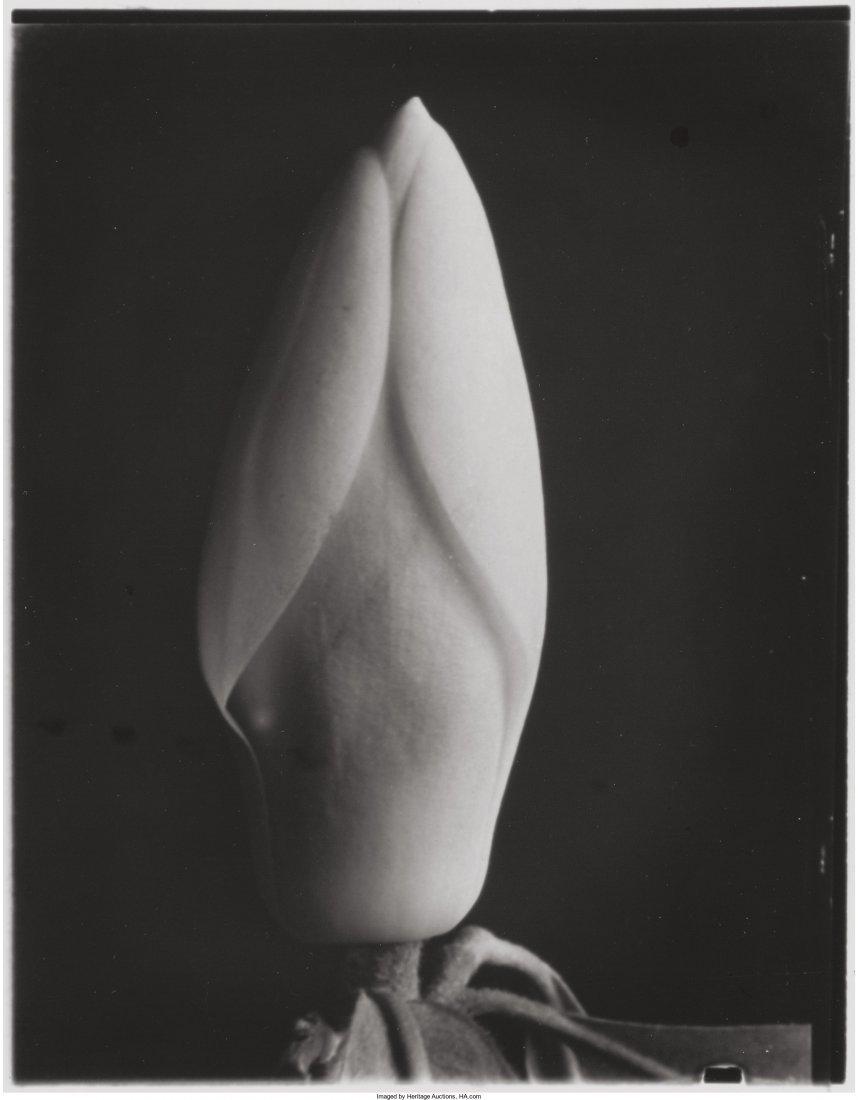 73087: Imogen Cunningham (American, 1883-1976) Magnolia